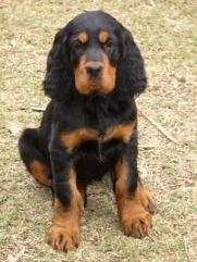 Puppy GSCV website
