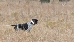 Pointer working the field (2)